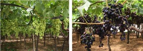Uva da tavola la puglia si prepara a commercializzare la produzione 2010 agronotizie - Uva da tavola precoce ...
