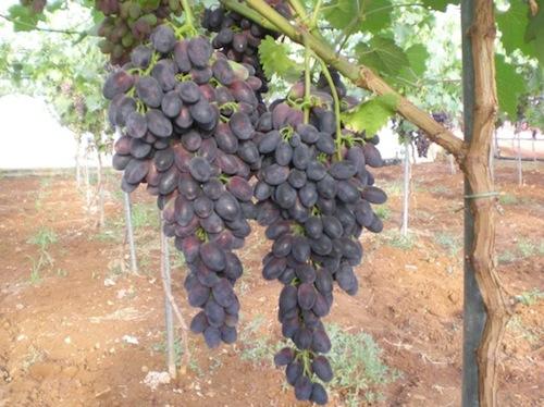 Uva da tavola novit per le variet precoci agronotizie vivaismo e sementi - Uva da tavola bianca ...