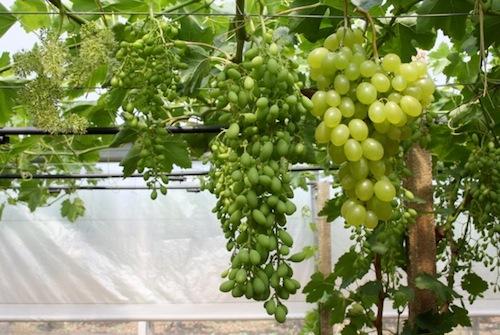 Uva da tavola novit per le variet precoci agronotizie vivaismo e sementi - Uva da tavola puglia ...