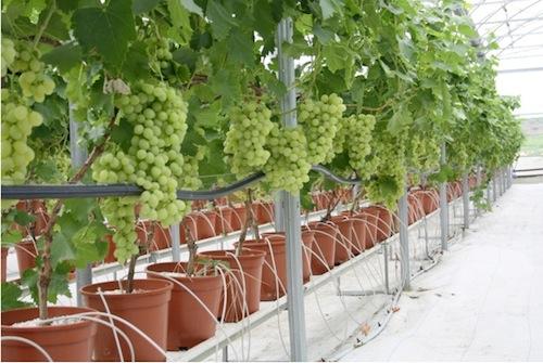 Uva da tavola novit per le variet precoci agronotizie vivaismo e sementi - Potatura uva da tavola ...