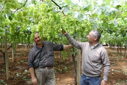 Uva da tavola novit per le variet precoci agronotizie vivaismo e sementi - Uva da tavola di mazzarrone ...