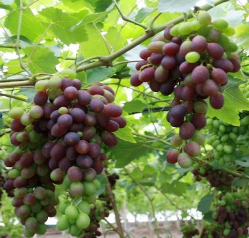 Uva da tavola inizia la raccolta in puglia agronotizie - Piante uva da tavola ...