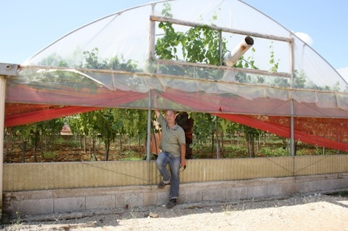 Uva da tavola inizia la raccolta in puglia agronotizie vivaismo e sementi - Uva da tavola precoce ...