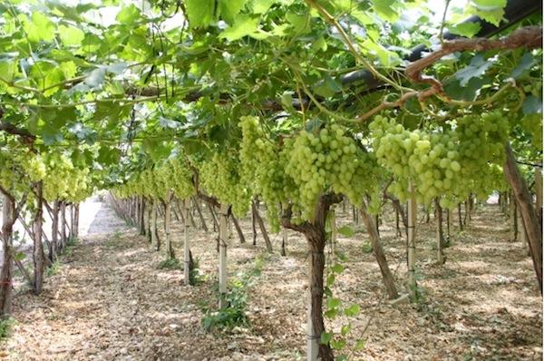 Uva apirena in puglia si sperimenta l 39 allevamento a y - Piante uva da tavola ...