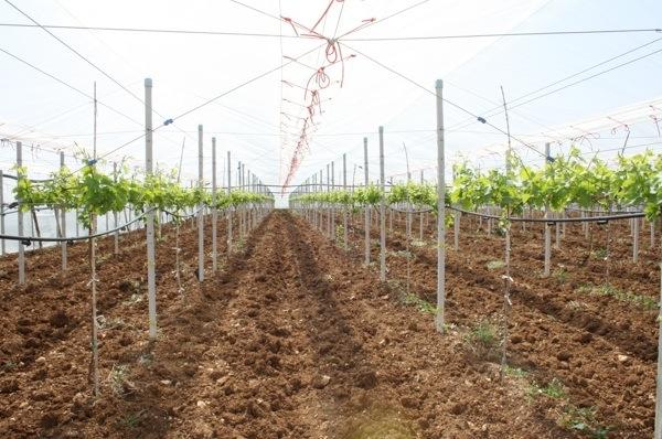 Uva apirena in puglia si sperimenta l 39 allevamento a y agronotizie vivaismo e sementi - Potatura uva da tavola ...
