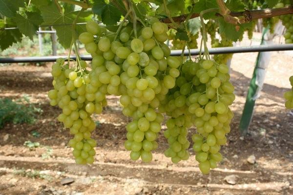 Uva apirena in puglia si sperimenta l 39 allevamento a y - Vivai rauscedo uva da tavola ...