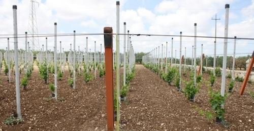20110728-colapietra-uva-da-tavola-in-italia-04.jpg