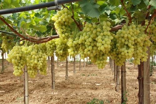 Tutto sull 39 uva da tavola agronotizie vivaismo e sementi - Uva da tavola coltivazione ...
