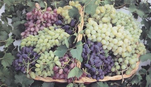 20110728-colapietra-uva-da-tavola-in-italia-08.jpg