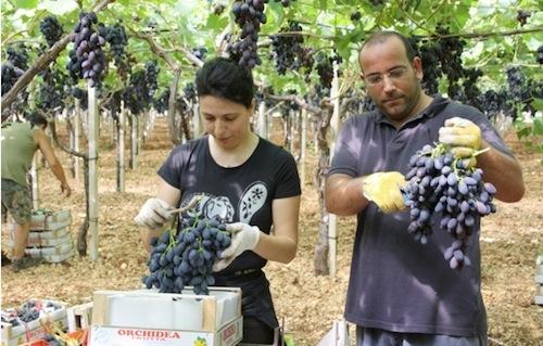 20110728-colapietra-uva-da-tavola-in-italia-10.jpg