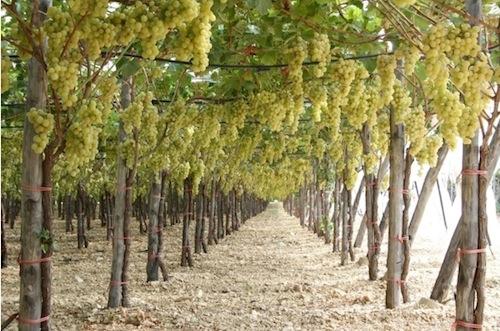 Tutto sull 39 uva da tavola agronotizie vivaismo e sementi - Uva da tavola bianca ...