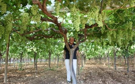 20110728-colapietra-uva-da-tavola-in-italia-14.jpg