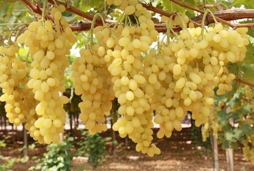 Tutto sull 39 uva da tavola agronotizie vivaismo e sementi - Vivai rauscedo uva da tavola ...