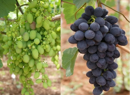20110728-colapietra-uva-da-tavola-in-italia-23.jpg