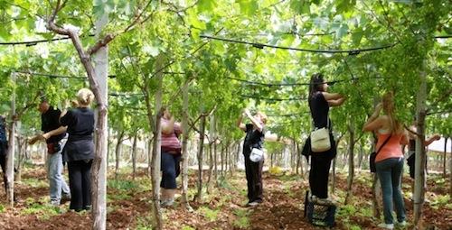 Piante di uva idee per il design della casa for Piante da frutto nord italia