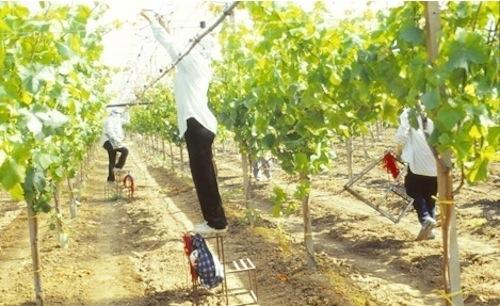 20110728-colapietra-uva-da-tavola-in-italia-26.jpg