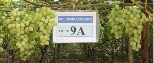 20110728-colapietra-uva-da-tavola-in-italia-33.jpg