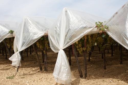 20110728-colapietra-uva-da-tavola-in-italia-40.jpg