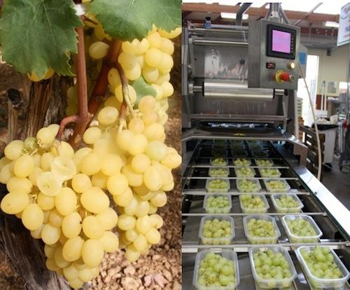 20110728-colapietra-uva-da-tavola-in-italia-50.jpg
