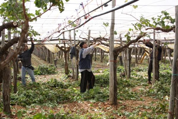 Uva da tavola in puglia il punto sulla produzione 2011 agronotizie vivaismo e sementi - Potatura uva da tavola ...
