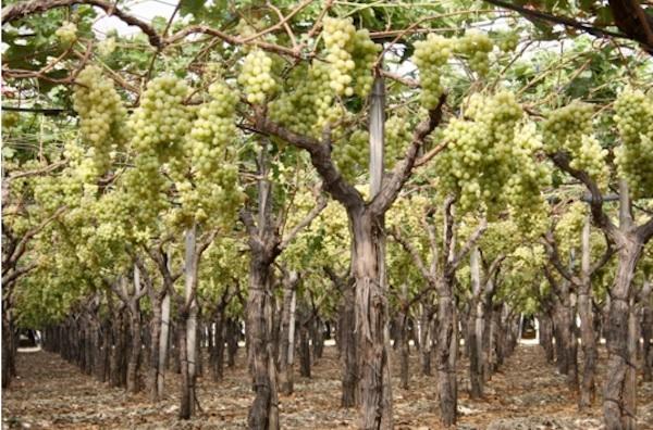 Uva da tavola in puglia il punto sulla produzione 2011 - Uva da tavola italia ...