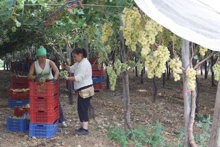 Congresso nazionale sull 39 uva da tavola tappa in sardegna - Uva da tavola italia ...