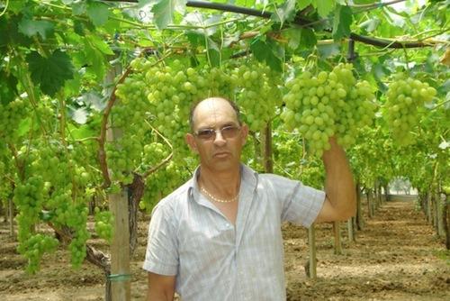 Uva da tavola al via la raccolta in sicilia agronotizie vivaismo e sementi - Uva da tavola precoce ...