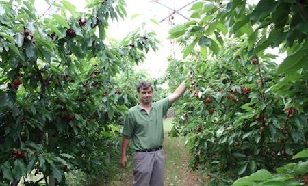 Ciliegio il futuro l 39 allevamento a vaso basso for Pianta di ciliegio