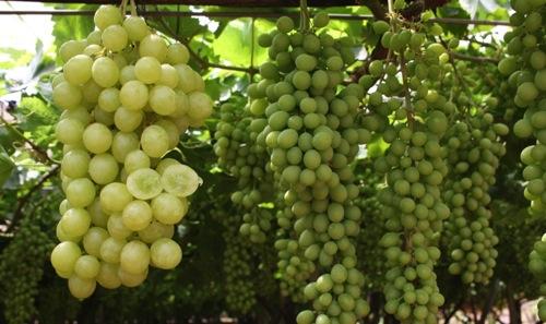 Uva da tavola la puglia si prepara a commercializzare la - Uva da tavola di mazzarrone ...