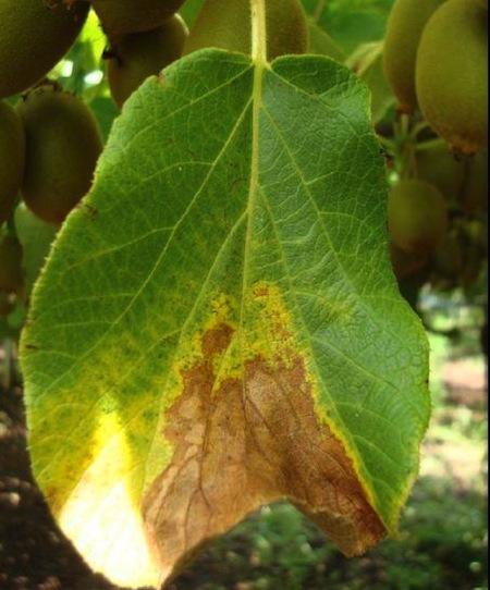 Le batteriosi delle specie frutticole italiane for Malattie del limone