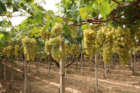 Uva da tavola il punto sulla coltivazione in sardegna - Vivai rauscedo uva da tavola ...