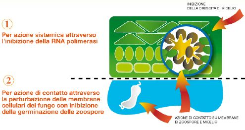 Fantic M - antiperonosporico Isagro Italia - meccanismo azione