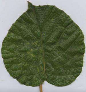 Sintomi di Pseudomonas syringae pv. actinidiae (PSA) su foglie di Actinidia deliciosa
