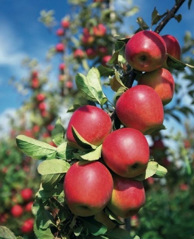 mele kanzi frutteto