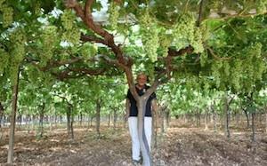 Uva c 39 crisi in tavola agronotizie vivaismo e sementi - Potatura uva da tavola ...