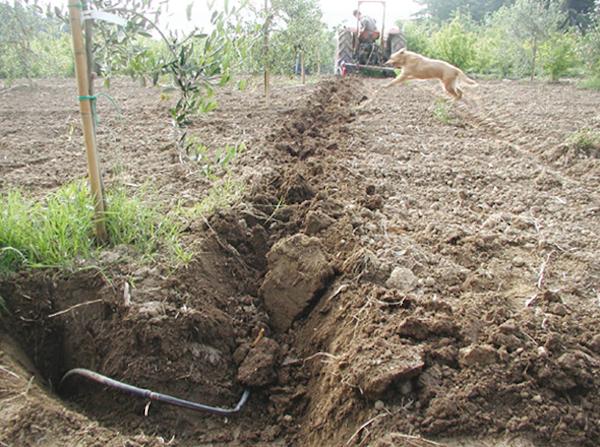 l 39 irrigazione a goccia in olivicoltura agronotizie