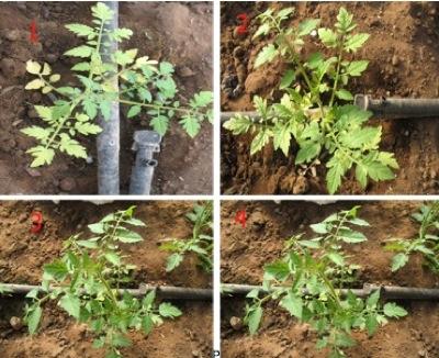 Problemi di nematodi tequil la protezione 100 naturale for Pianta di melone