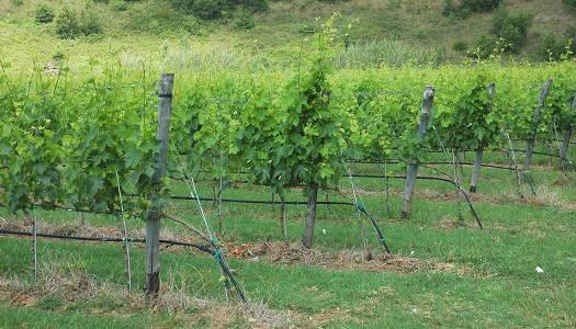 Numeri del vino - Viaggi del Fantic - vigneto