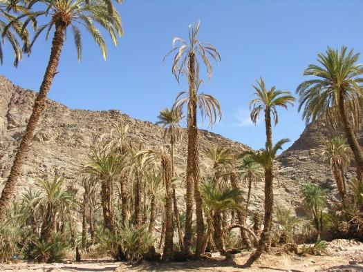 Palme colpite da punteruolo rosso - Oasi del Wadi Feiran