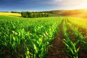 Pomodoro, frumento e mais: criticità e strategie di difesa
