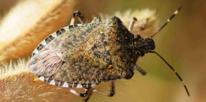 Fitofagi di nuova introduzione e possibili impatti sulle colture meridionali