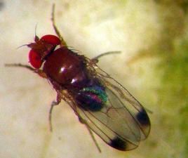 Ciliegio e Drosophila: arriva il dimetoato