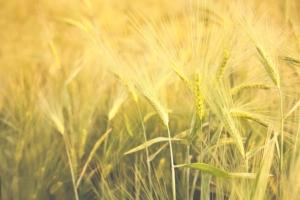 Pianeta Grano 2017: l'agricoltura di precisione scende in campo