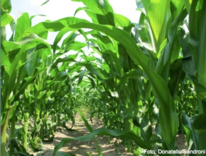 Protezione completa del mais dalla A alla Z