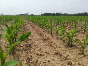 Mais e semina localizzata: le soluzioni disponibili