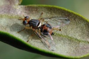 Mosca dell'olivo, dieci trucchi per usare correttamente Spintor fly
