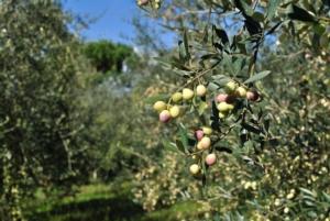 Novità sulle malattie dell'olivo, non solo Xylella