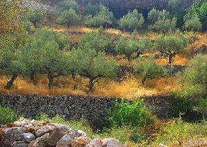 Il programma completo del primo Convegno  nazionale dell'olivo e dell'olio