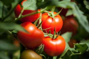 EVENTO ONLINE - Bilanci fitosanitari: appuntamento con il pomodoro