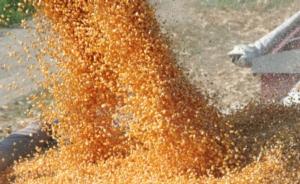 L'oro giallo, fra risaie e zootecnia